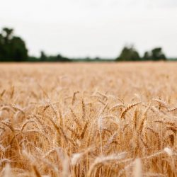 17 Beautiful Photos of Grain Fields