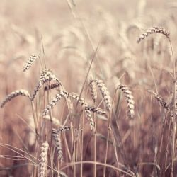 17 Beautiful Photos of Grain Fields